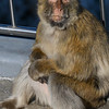 Close-up of a monkey, Gibraltar, British Overseas Territory, Iberian Peninsula