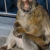 Close-up of a monkey, Gibraltar, British Overseas Territory, Iberian Peninsula