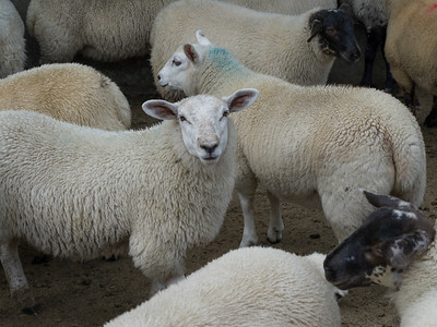 Flock of sheep in farm, Crossmolina, County Mayo, Ireland