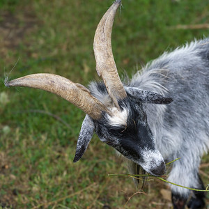 Close-up of a goat, Folk Park, Bunratty, County Clare, Ireland