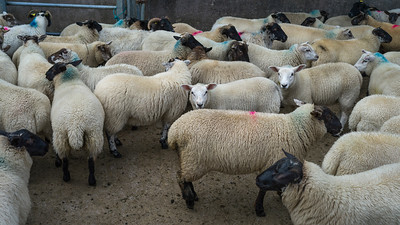 Flock of sheep in farm, Crossmolina, County Mayo, Ireland