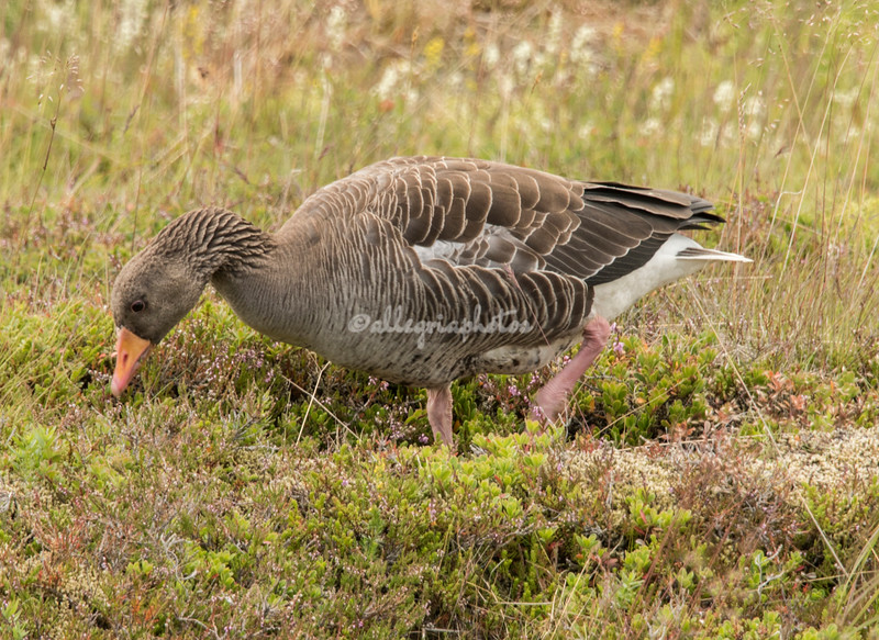 Pink-footed Icelandic Goose
