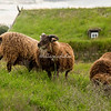 Icelandic Sheep near sod house, Iceland