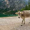 Cow beside Lago di Braies, South Tyrol, Italy