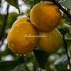 Oranges in the rain, Ostuni, Puglia