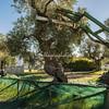 Harvesting olives, Masseria Il Frantoio, Ostuni, Puglia