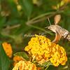 Puglia Hummingbird Hawk Moth