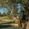 Harvesting olives, Masseria del Frantoio, Ostuni, Puglia