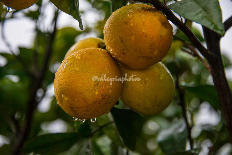Oranges in the rain, Ostuni, Puglia