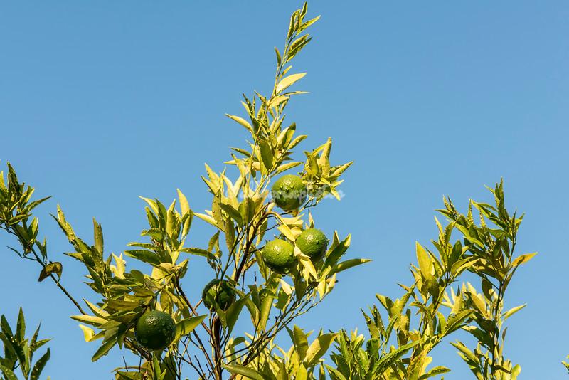 Oranges at the Masseria Il Frantoio, Puglia