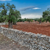 An Olive Grove in Puglia, Italy