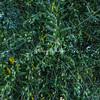 Olive tree, Ostuni, Puglia