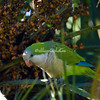 A rose-ringed parakeet eating dates in Rome's Botanical Garden