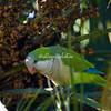 A rose-ringed parakeet eating dates in Rome's Botanical Garden