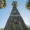 A tall palm Tree, Botanical Garden, Rome