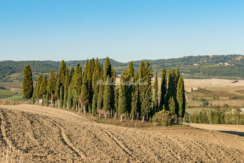 A grove of cypress trees in Val d'Orcia