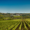 Rows of vines near Greve, Tuscany