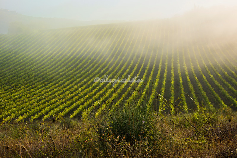 Morning Mist over a Tuscan Vineyard