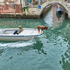 A Venetian canine pilot guiding a boat along the canals, Venice