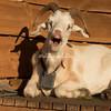 Cashmere Goat, Mount Floyen, Bergen, Norway