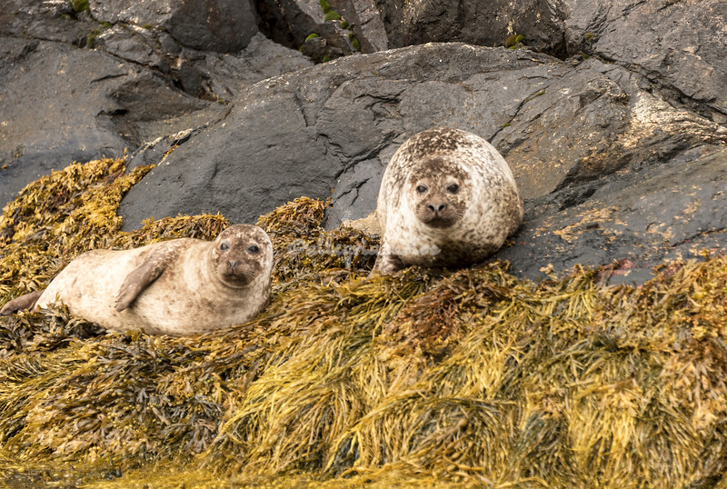 Grey seals the rocks of Sognefjord, Norway