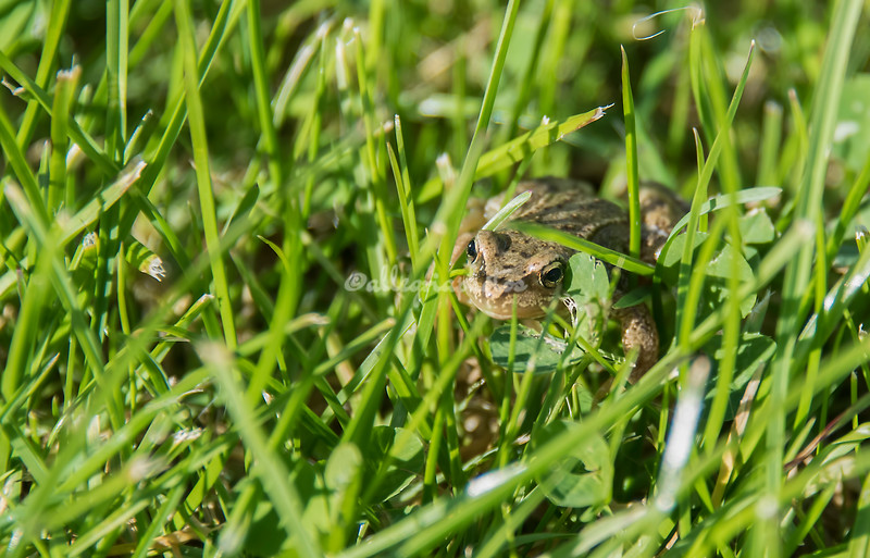 A tiny frog / toad in the grass, Stavanger, Norway