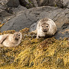 Grey seals on the rocks of Sognefjord, Norway8