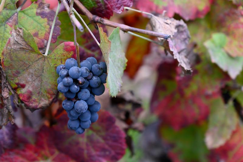 Grapes growing on vine, Peso da R�gua, Vila Real, Douro Valley, Portugal