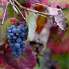 Grapes growing on vine, Peso da R�gua, Vila Real, Douro Valley, Portugal