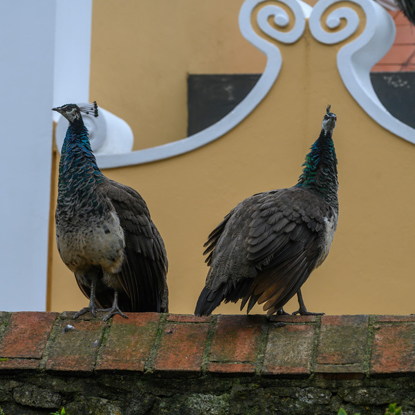 Low angle view of two peacock, St. George's Castle, Castelo, Lisbon, Portugal