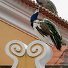 Low angle view of a peacock, St. George's Castle, Castelo, Lisbon, Portugal