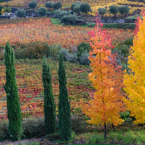 Autumn Trees in a valley, Douro Valley, Portugal