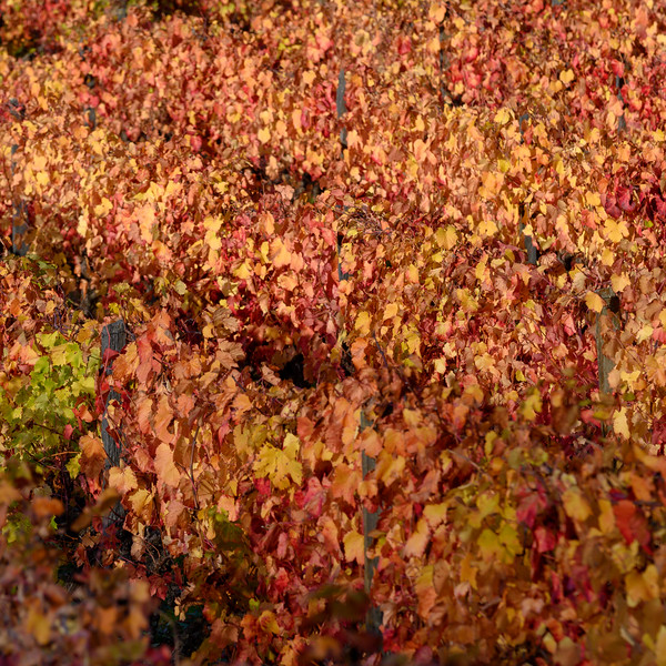 Autumn leaves, Lamego Municipality, Viseu District, Douro Valley, Portugal