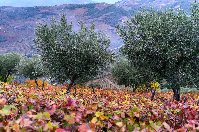 Scenic view of a  autumn hillside, Peso da R�gua, Vila Real, Douro Valley, Portugal