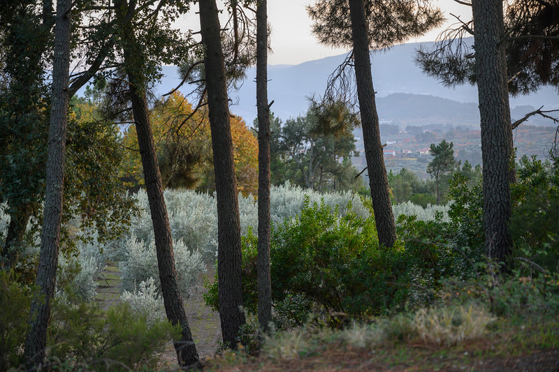 Trees in a field, Tarouca, Viseu District, Douro Valley, Portugal