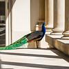 Peacock, Łazienki Palace