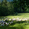 Sheep in a meadow, Tatras
