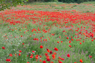 Poppies in the Var