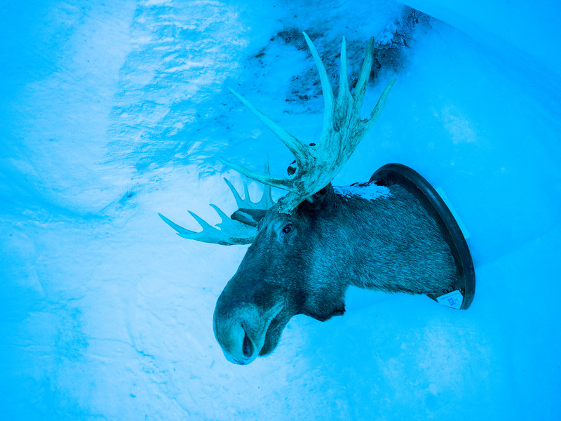 Close-up of a mounted moose head in Icehotel, Norrbotten County, Lapland, Sweden