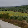 Olive plants growing on hill, Montefrio, Granada, Spain