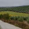 Olive plants growing on hill, Montefrio, Granada, Spain