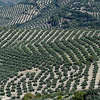 Elevated view of Olive plants growing on hill, La Iruela, Jaen Province, Spain