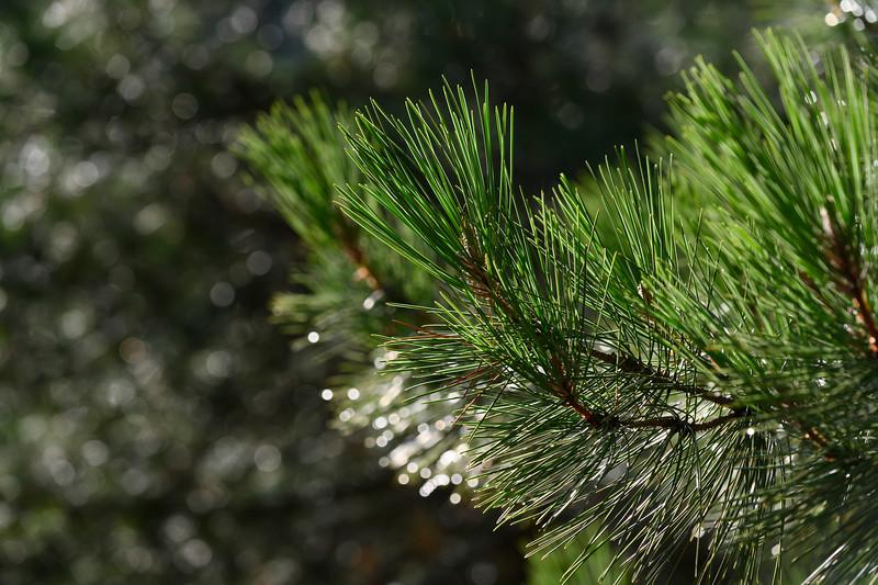 Defocused raindrops on pine needles, Seguray Las Villas Natural Park, Jaen Province, Spain