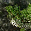 Defocused raindrops on pine needles, Seguray Las Villas Natural Park, Jaen Province, Spain