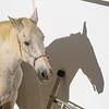Profile view of Andalusian horse, Ronda, Malaga Province, Spain
