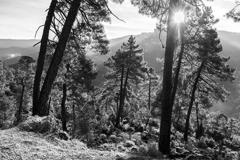 Trees in a forest at sunrise, Sierra De Cazorla, Jaen Province, Spain