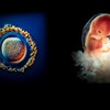 Photograph showing human birth stages, Fotografiska, The Swedish Museum of Photography, Sodermalm, Stockholm, Sweden