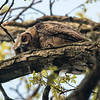 A tired owlet