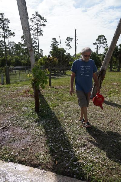 Jack watering Gumbo Limbo plant