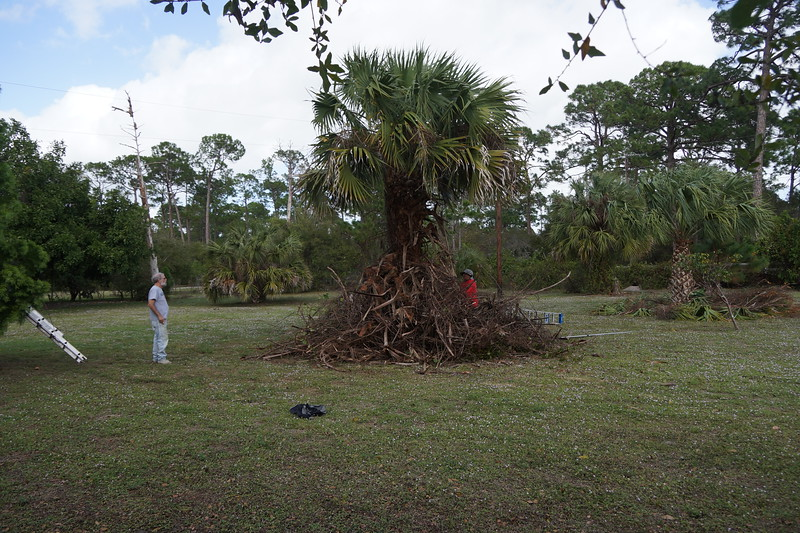 Clearing Vines from Palm tree